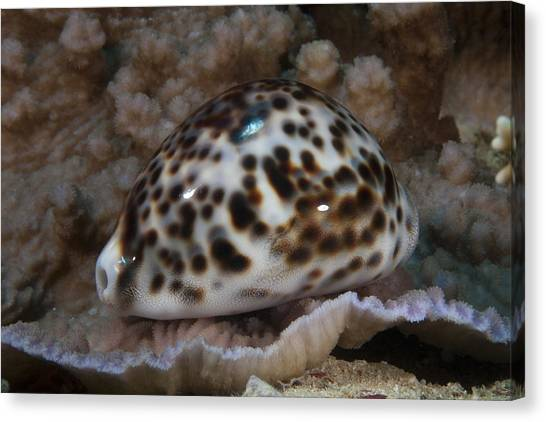 Cowrie Shell Canvas Print - A Large Tiger Cowrie, Fiji by Terry Moore