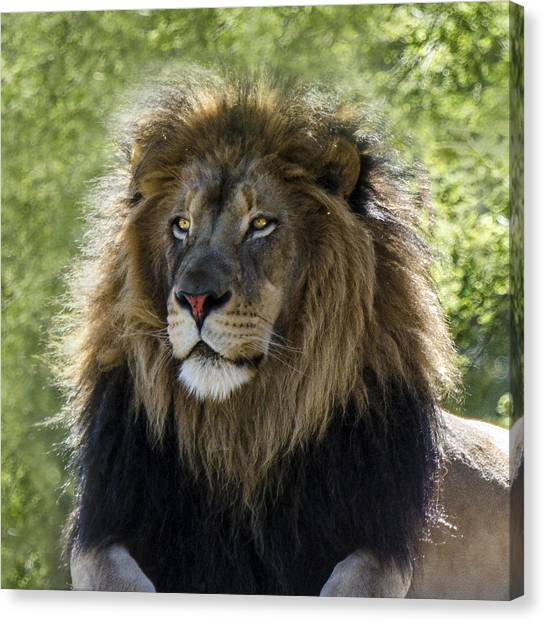 A Lion's Thoughts Canvas Print