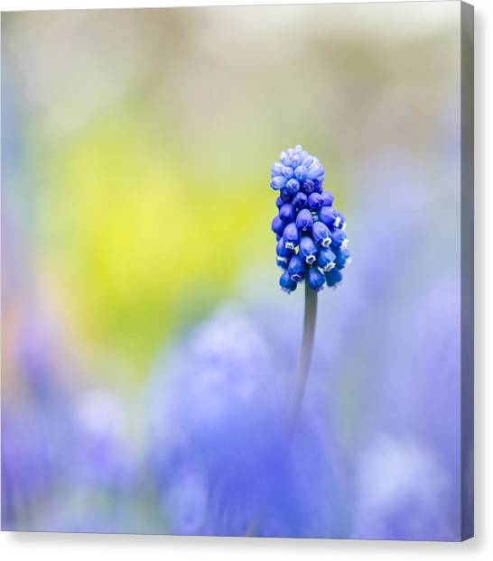 A Little Muscari Magic Canvas Print