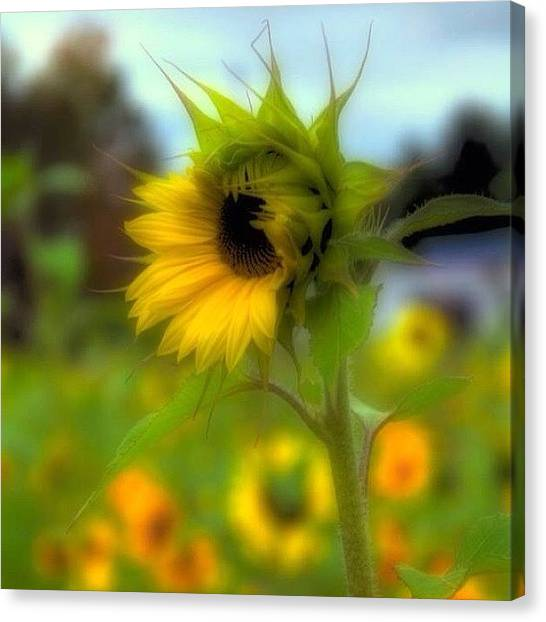 Sunflowers Canvas Print - A Little Sunshine In A Cold, And Drabby by Joann Vitali