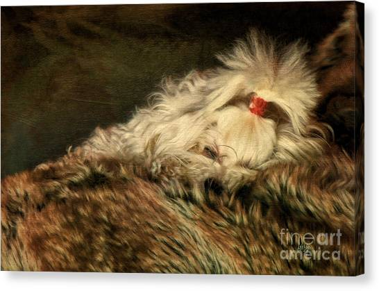 White Maltese Canvas Print - A Long Winter's Nap by Lois Bryan
