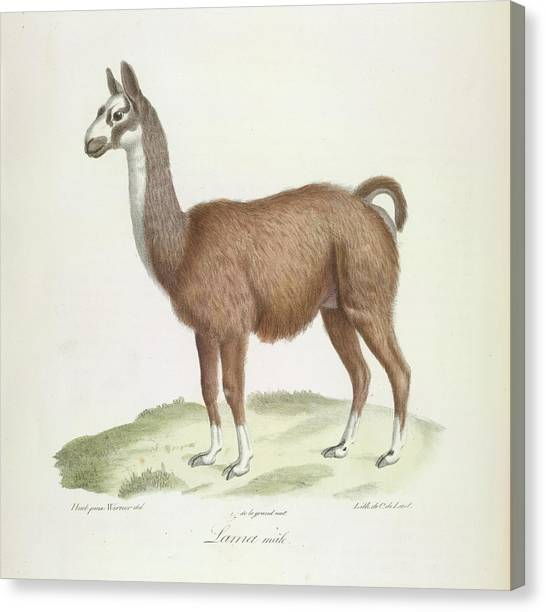 Llamas Canvas Print - A Male Llama by British Library