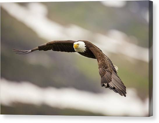 Condors Canvas Print - A Mature Bald Eagle In Flight by Tim Grams