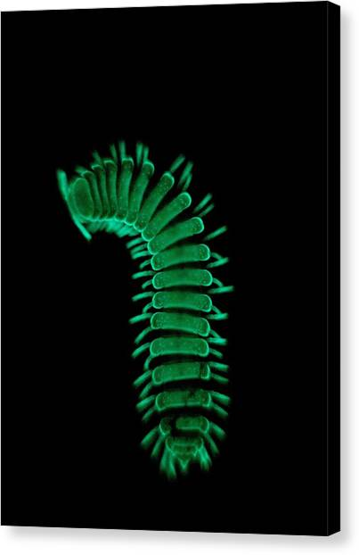 Millipedes Canvas Print - A Millipede Glows In The Dark To Let by David Liittschwager