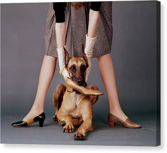 A Model With A Dog Holding A Shoe In Its Mouth Canvas Print by John Rawlings
