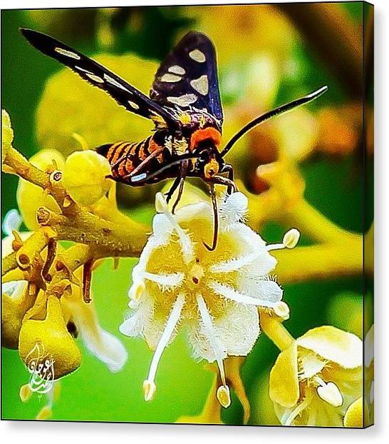 Ladybugs Canvas Print - A Moth Feeding On A Longan Flower #bug by Ahmed Oujan