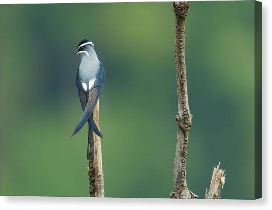 Kali Canvas Print - A Moustached Tree-swift, Hemiprocne by Tim Laman
