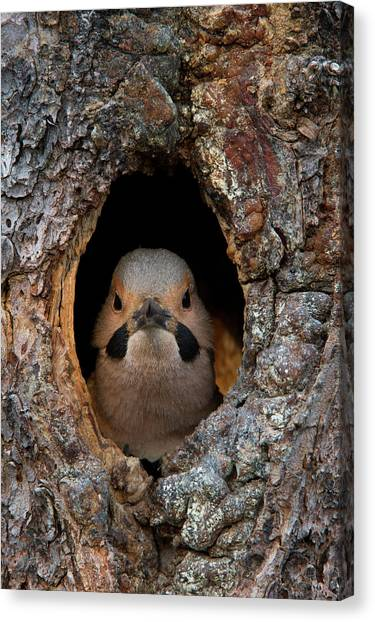 Hole In One Canvas Print - A Northern Flicker In The Hollow by Michael S. Quinton