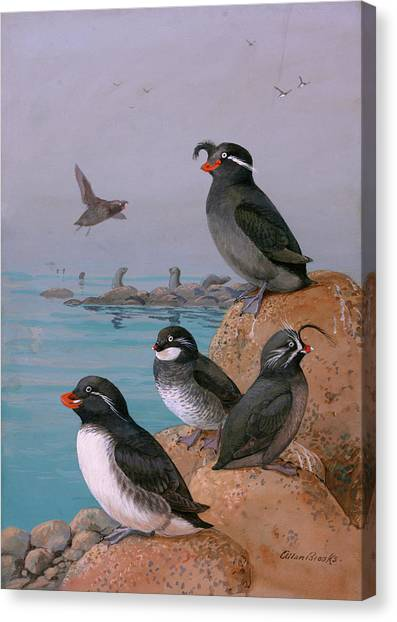 Auklets Canvas Print - A Painting Of Four Different Species by Allan Brooks