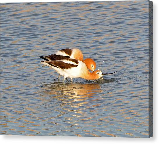A Pair Of American Avocets Canvas Print