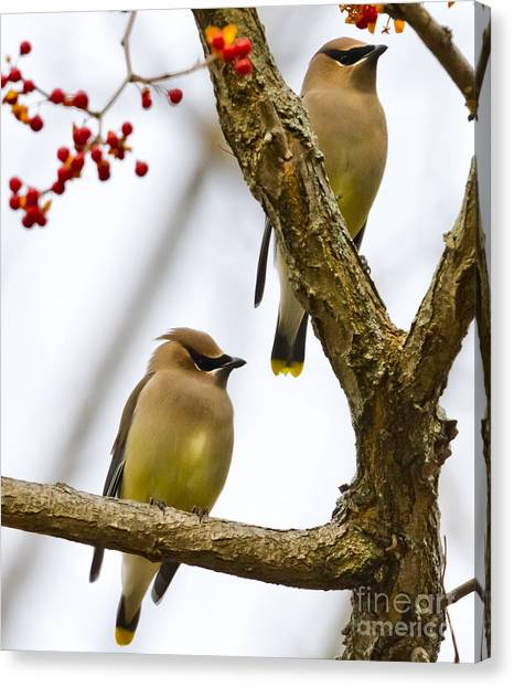 A Pair Of Cedar Waxwings Canvas Print