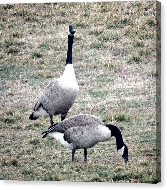 Geese Canvas Print - A Pair Of Geese by Kelli Stowe
