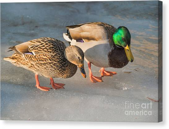 A Pair Of Mallards On Frozen Lake Canvas Print