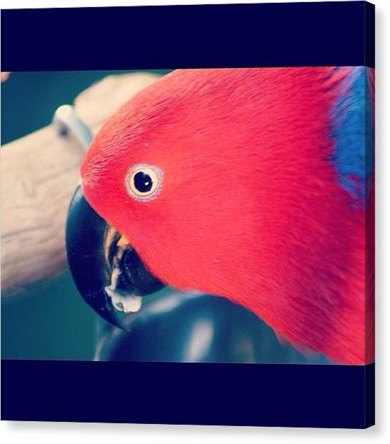 Parrots Canvas Print - A #parrot In Vancouver😂 #love by Vanessa Saccone