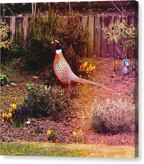 Pheasants Canvas Print - A  #pheasant  In My Mother - In - Law by Alexandra Cook