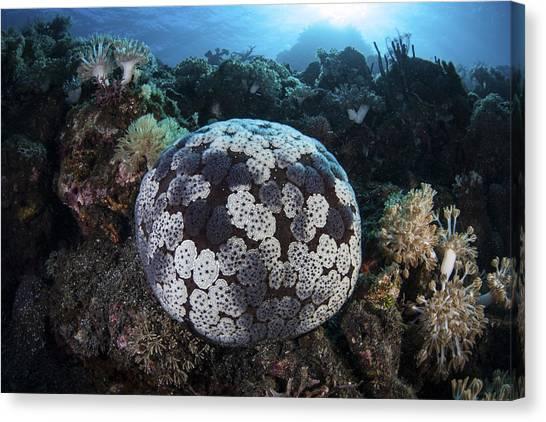 Pin Cushion Canvas Print - A Pin Cushion Starfish Clings by Ethan Daniels