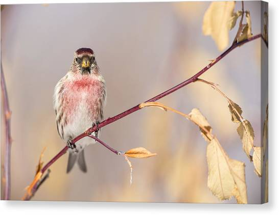 Crossbill Canvas Print - A Pretty Male Redpoll by Tim Grams