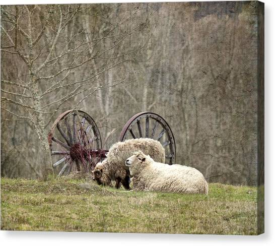 A Ram And Sheep With Attitude  Canvas Print