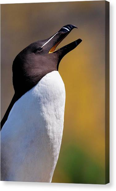 Razorbills Canvas Print - A Razorbill by Steve Allen/science Photo Library