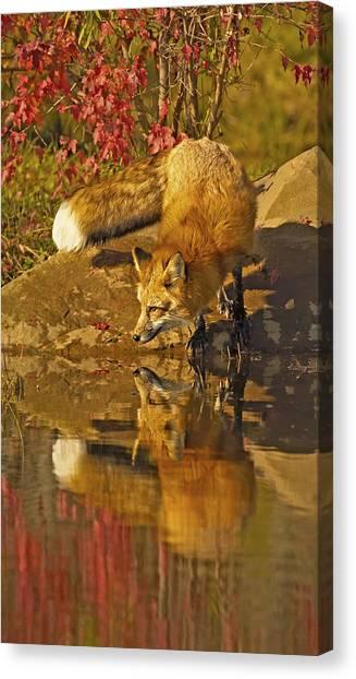 A Real Fox Canvas Print