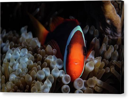Amphiprion Melanopus Canvas Print - A Red And Black Anemonefish Sunggles by Ethan Daniels