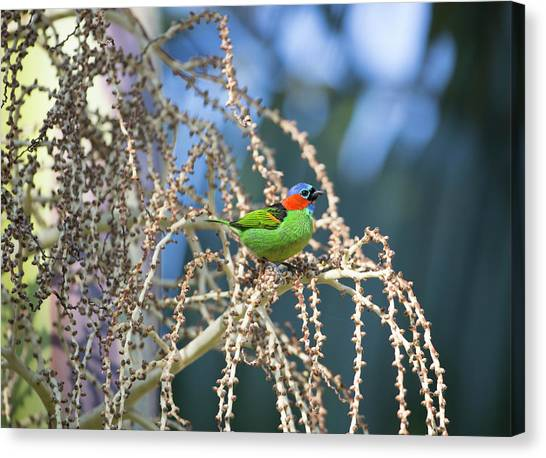 Canvas Print - A Red-necked Tanager, Tangara by Alex Saberi
