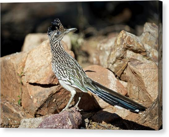 A Road Runner Pauses Momentarily Canvas Print by Richard Wright