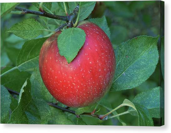 A 'rome Beauty' Apple On A Tree. Canvas Print by Inga Spence