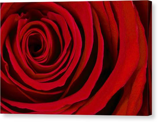 Red Roses Canvas Print - A Rose For Valentine's Day by Adam Romanowicz
