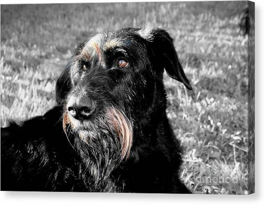 A Schnauzer's Plea  Canvas Print by Jo Collins