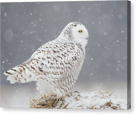 A Side Portrait Of Snowy Owl Canvas Print by Ming H Yao