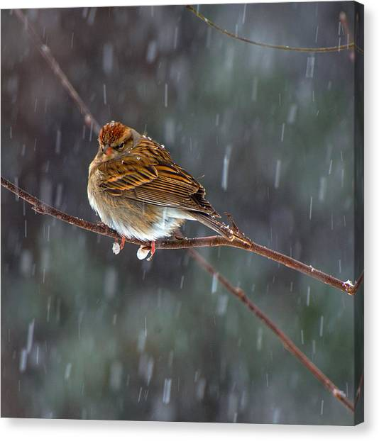 A Sparrow In Snow  Canvas Print