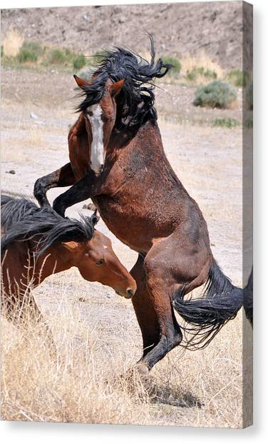 A Stallion Defends His Territory Canvas Print