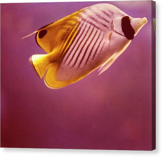A Striped Butterfly Fish Canvas Print