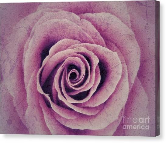 A Sugared Rose Canvas Print