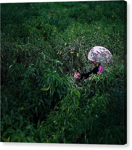 Syrian Canvas Print - A Syrian Woman Picks Peppers In A Field by David  Hagerman