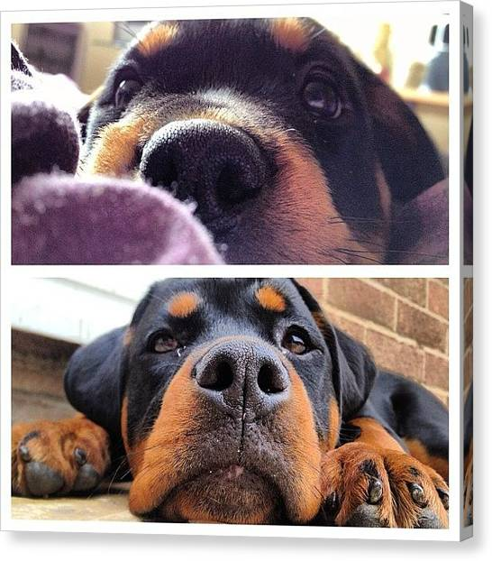 Rottweilers Canvas Print - A Then And Now Picture Of Roxy.. #dog by Charlotte Turville