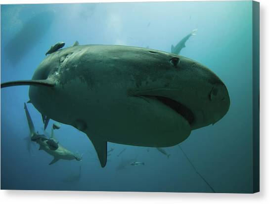 Tiger Sharks Canvas Print - A Tiger Shark Inspecting The Camera by Rainer Schimpf