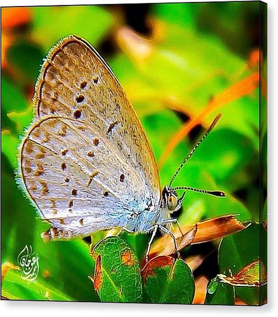 Ladybugs Canvas Print - A Tiny Grass Butterfly Posing For The by Ahmed Oujan