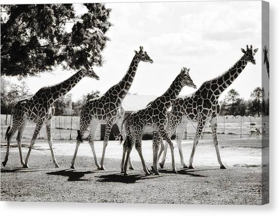A Tower Of Giraffe - Black And White Canvas Print