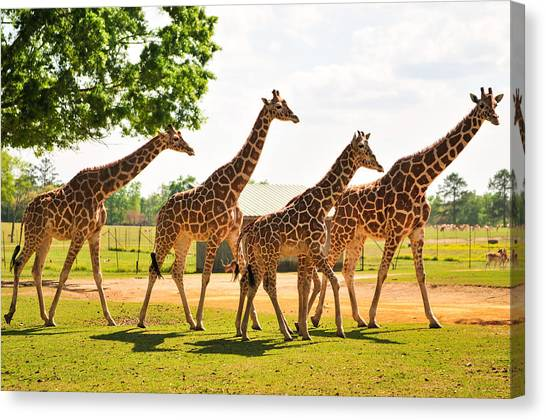 A Tower Of Giraffe Canvas Print