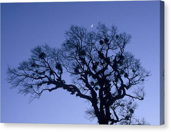 A Tree Is An Object Of Beauty X Canvas Print