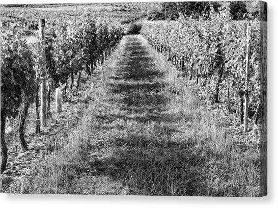 Black and white vineyard canvas print a walk through the vineyard by georgia fowler