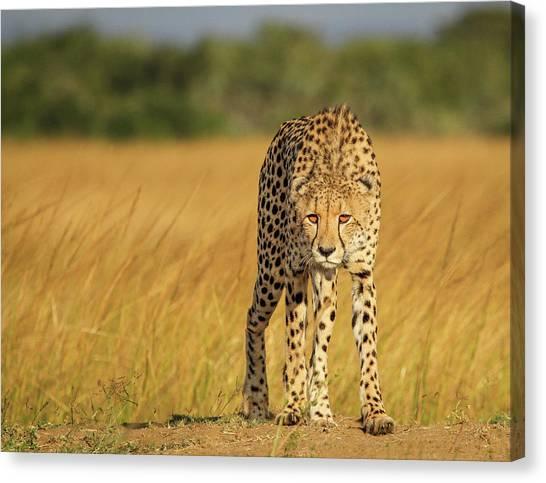 Cheetahs Canvas Print - A Walk To Kill by Jaco Marx