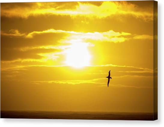 Albatrosses Canvas Print - A Wandering Albatross by Ashley Cooper