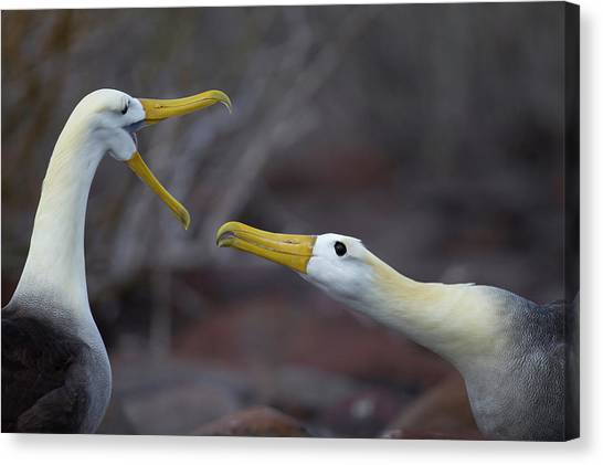 Albatross Canvas Print - A Wave Albatross Couple In A Courtship by Peter Essick