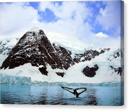 Glacier Bay Canvas Print - A Whale Fluke In Front Of Snow Covered by Miva Stock
