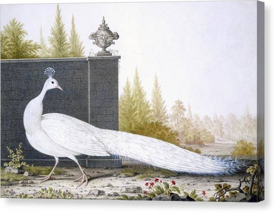 Peacocks Canvas Print - A White Peahen by English School