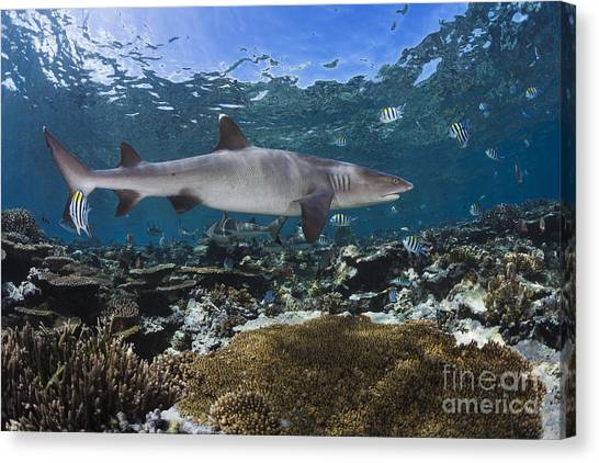 White Tip Sharks Canvas Print - A Whitetip Reef Shark _triaenodon Obesus_ Cruises A Shallow Reef, With Blacktip Reef Sharks _carcharhinus Melanopterus_ Seen In The Background_ Fiji by Dave Fleetham
