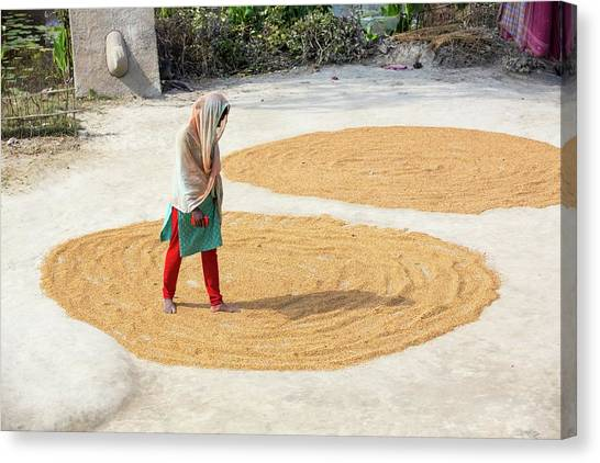 Ganges Canvas Print - A Woman Drying Her Rice Crop by Ashley Cooper
